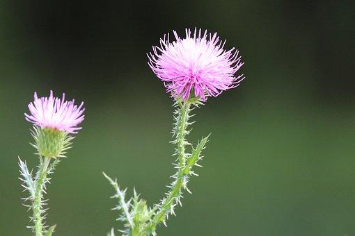 Greater Burdock, Nature, Plant, Burdock, Blossom, Herb