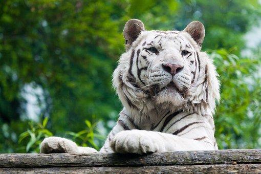 Albino, Animal, Big, Carnivore, Cat, Danger, Dangerous