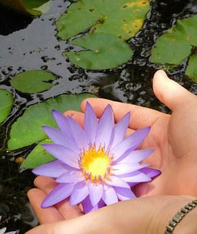 Water Lily, Water Lily With Hands, Flower, Lily