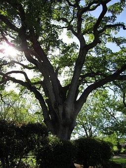 Oak Tree, Nature, Tree, Branch, Leaf, Season, Forest