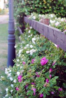 Flowers, Bush, Kolomna, Park, Heat, Bud, Greens, Bloom