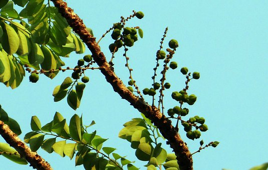 Phyllanthus Acidus, Malay Gooseberry, Star Gooseberry