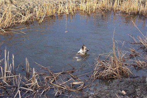 Akita, Shepard, Pond, Water, Cool, Swim, Reeds, Marsh
