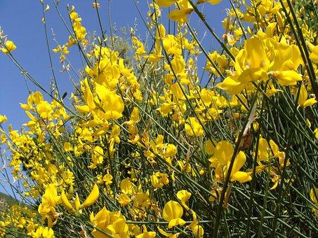 Genista, Plant, Nature, Flora