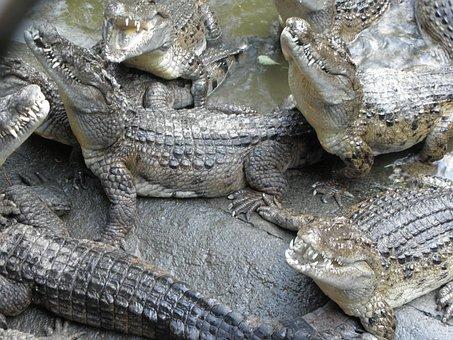 Crocodile, Reptile, Philippines Crocodile