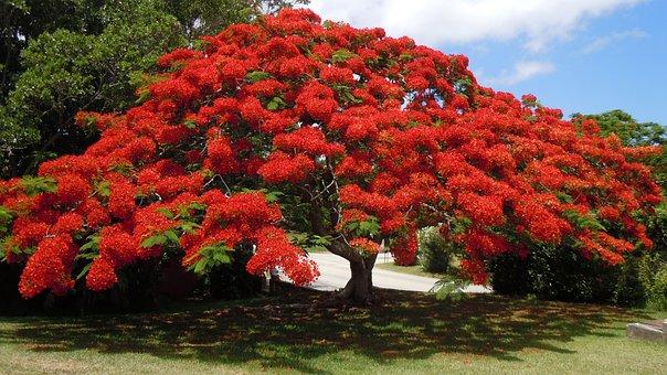Flowering Tree, Poinsiana, Bermuda, Floral, Plant