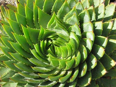 Spiral, Succulent, Cactus, Rosette, Green, Plant