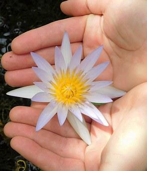 Water Lily, Water Lily And Hands, Flower