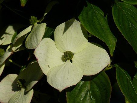 Dogwood, Blossom, Bloom, White, Cornus, Horn Shrub