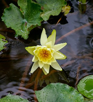 Waterlily, Lily, Water, Flower, Yellow, Leaves, Aquatic