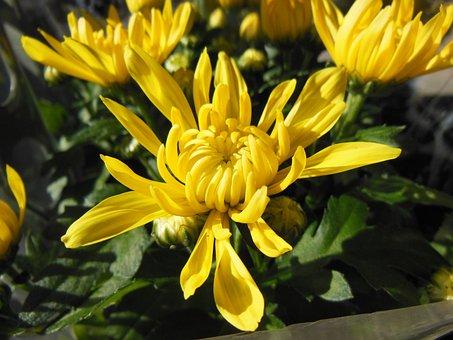 Plants, Flowers, Chrysanthemums, Yellow Chrysanthemums