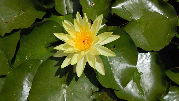 Water Lily, Yellow Flower, Nature, Bermuda
