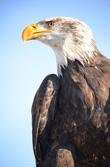 Golden Eagle, Adler, Raptor, Bird, Bill, Bird Of Prey