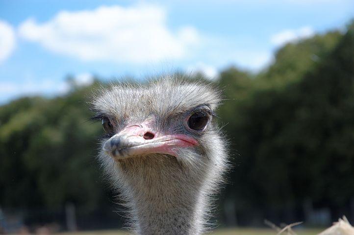 Ostrich, Animal, Zoo, Head