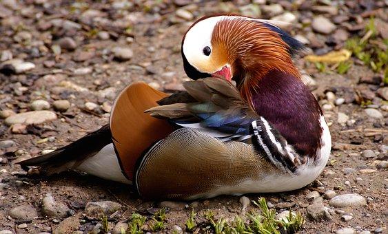 Mandarinente, Duck, Bird, Water, Water Bird, Animal