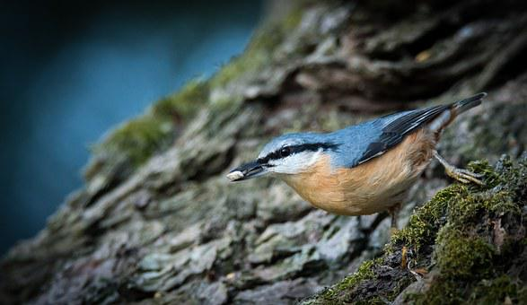 Nuthatch, Bird, Natural, Sitta Europaea, Forest, Branch