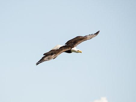Adler, Bird Of Prey, Raptor, Falconry, Bird