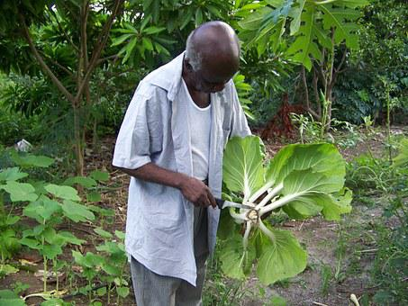 Elderly, Gardener, Gardens, Plants, Bok Choy