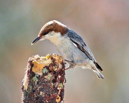 Bird, Nuthatch, Brown-headed Nuthatch, Nature, Wildlife