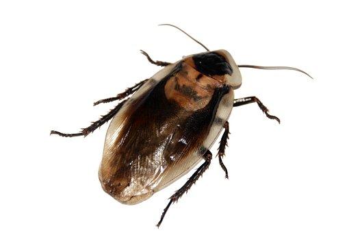 Cockroach, Insect, Imago, Blaberus, Pet, Animal