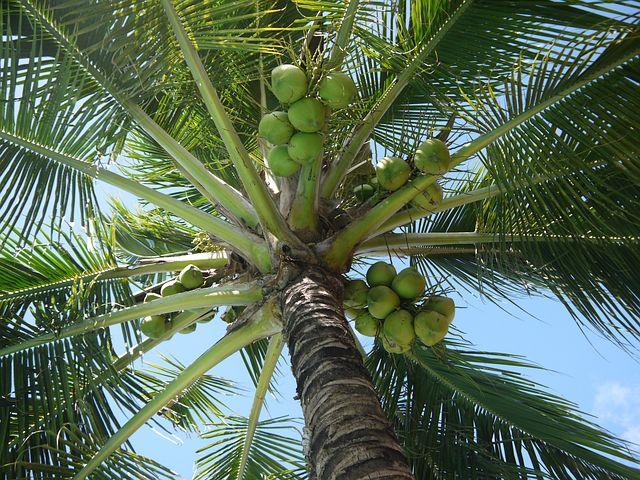 Coconut, Cocos Nucifera, Tree, Nuts, Fruit, Green