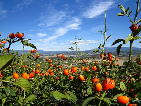 Rose Hip, Provence, Fruits, Sammelfrucht, France