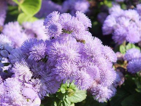 Ageratum, Flowers, Lilac, Garden Flowers