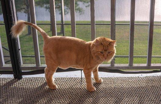 Feline, Cat, Orange, Lion Cut, Domestic, Cute, Animal