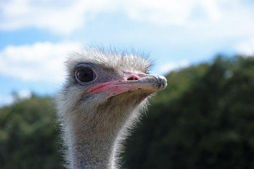 Ostrich, Animal, Zoo, Animals, Bird, Head