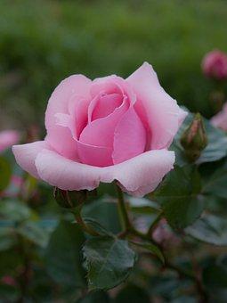 Flowers, Rose, Sunshine, Plant, Pink, Four Seasons Rose