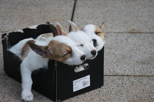 Animals, Dogs, Puppies, Podengo Portugues Pequeno