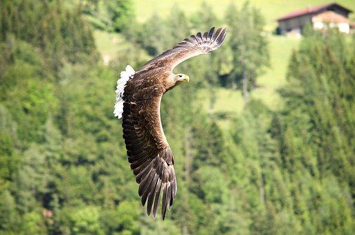 Adler, Raptor, Bird Of Prey, Freiflug, Falconry, Bird