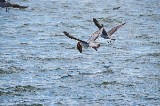 Seagull, Halibut, Flounder, Turbot, Sea