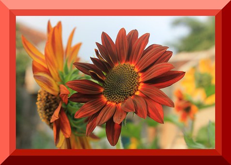 Sunflower Velvet, Border Photo, Nature
