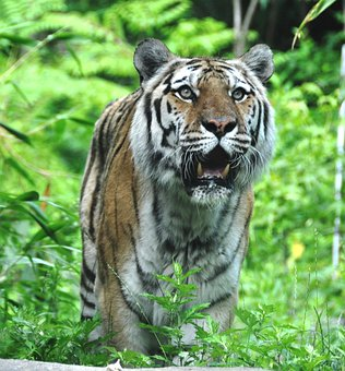 Tiger, Cat, Stripes, Animal, Tail, Whiskers, Cute