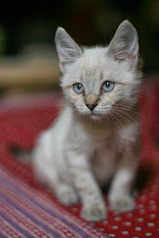 Cat, White, Haughty, Pet, Feline, Kitten, Expression