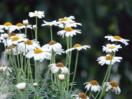 Marguerite, Tree Daisy, Argyranthemum Frutescens