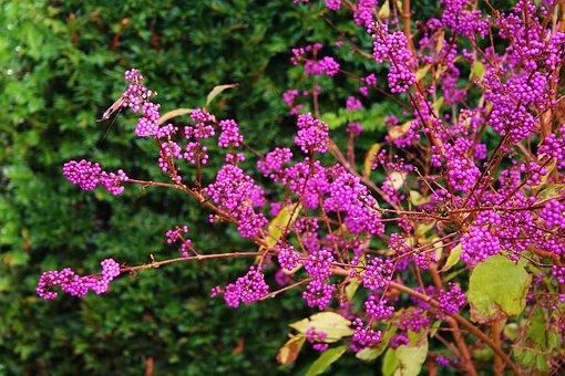 Bush, Garden Plant, Callicarpa, Clean Fruit, Berry Bush