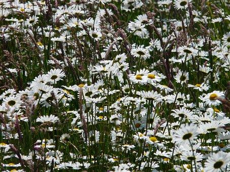 Meadows Margerite, Leucanthemum Vulgare, Flower, Bloom