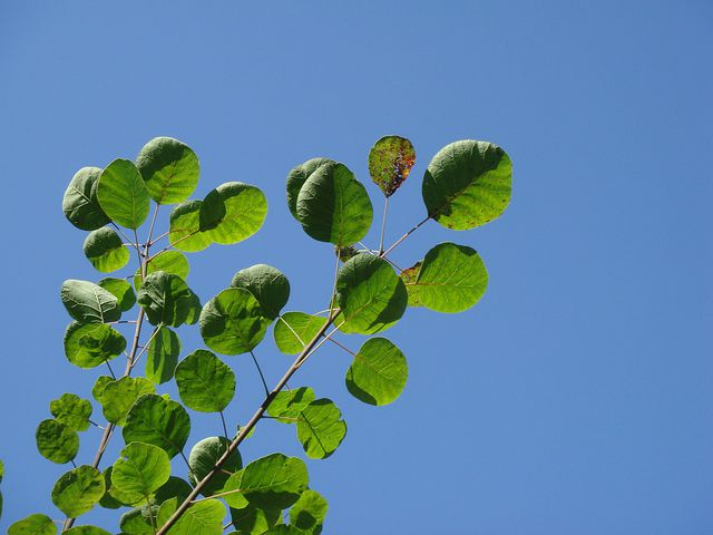 Smoketree, Common Smoketree, Blue Sky, Green Leaves