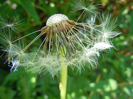 Dandelion, Seeds, Gone With The Wind, Nature, Close Up