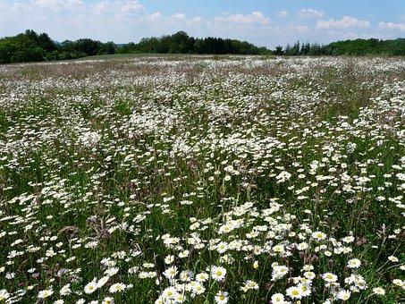 Mager Meadow, Meadow, Flower Meadow, Sea Of Flowers