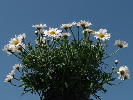 Daisies, Leucanthemum, Flower, Ornamental Plant