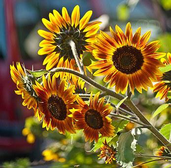 Sunflowers, A Few Flowers, Plant, Flowers, Plants