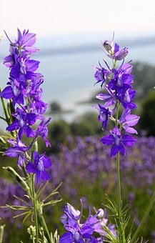 Larkspur, Purple, Purple Flower, Flowers, Garden, Plant