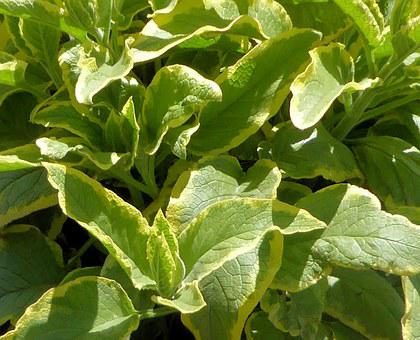 Hosta, Yellow And Green, Perennial, Ground Cover