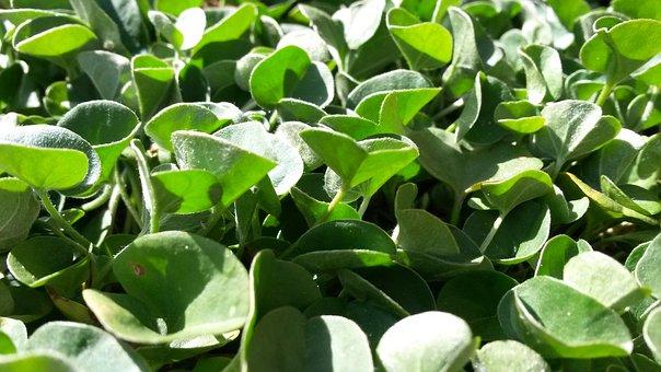 Dichondra, Green, Spring, Ground Cover, Garden