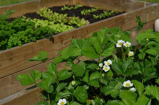 Grow, Strawberries, Anticipation, Cultivation Box