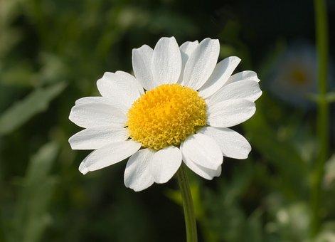 Marguerite, Leucanthemum Paludosum, Flower, Blossom