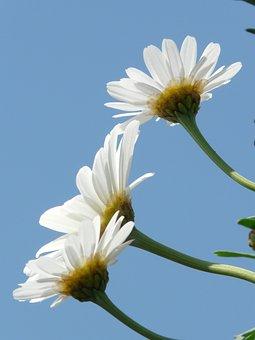 Marguerite, Leucanthemum, Tree Daisy